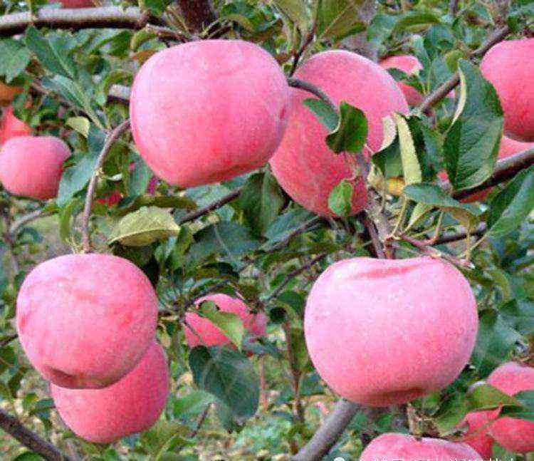 山东烟台苹果 山东烟台苹果产业滴灌项目