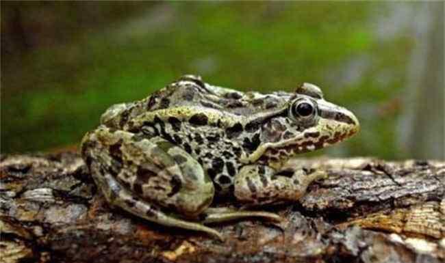 金线蛙 养殖前景比较好的几种青蛙