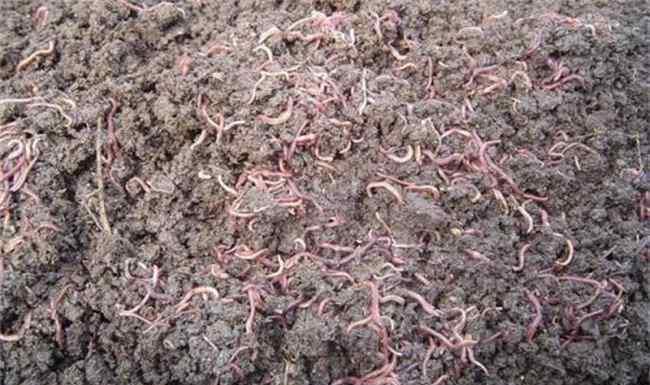蚯蚓养殖技术 蚯蚓养殖技术