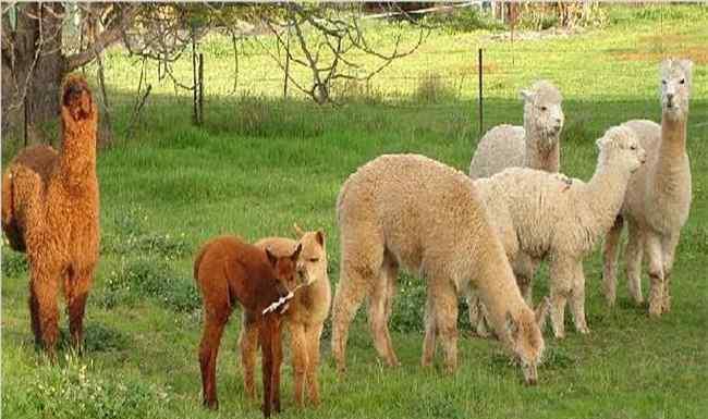 羊驼养殖网 羊驼养殖的方向