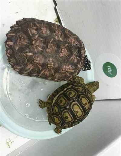豹龟价格 买乌龟也犯法?五人购买红腿陆龟和豹纹陆龟被抓