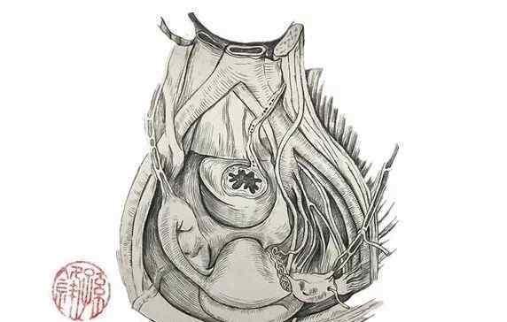 女人的盆腔位置图片 医学笔记︱女性盆腔的前上面观(附:彩色图谱)